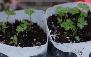 Посадка и выращивание петрушки