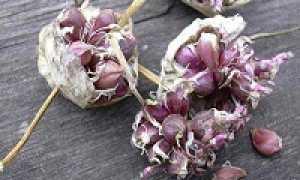 Размножение чеснока: методы размножения чеснока, выращивание чеснока