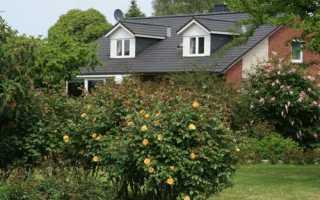 Шиповник – дикая роза. Декоративные шиповники и их современные гибриды