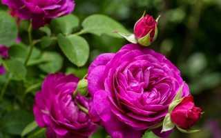 Легенды о пионе – Легенды о цветах, мифы и истории