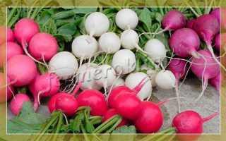 Лучшие сорта редиса для Сибири: какие есть разновидности для выращивания в открытом грунте, в теплицах и дома