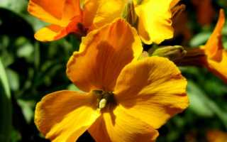 Лакфиоль: выращивание цветка