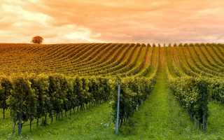 Как правильно сформировать виноградную лозу