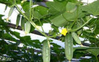 Как обрезать огурцы в теплице: обрезка листьев (видео и схема)