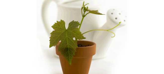 Посадка винограда косточкой и уход в домашних условиях