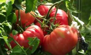 Томат Розовое сердце: описание сорта и особенности выращивания