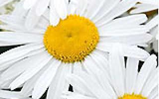Нивяник, или белая ромашка – традиционный символ лета