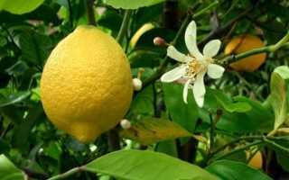 Размножение лимона черенками и отводками