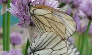 Бабочка боярышница. Борьба с боярышницей и ее гусеницами