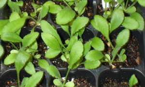 Гайлардия многолетняя и однолетняя: посадка и уход, фото, выращивание из семян