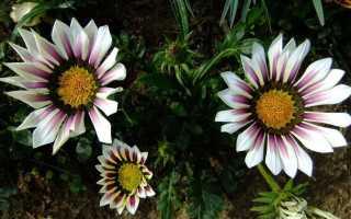 Гацания. Выращивание и размножение