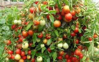 """Томат """"Аленка"""": описание гибридного сорта F1, фото, рекомендации по выращиванию богатого урожая помидор"""