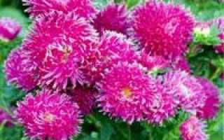 Защита кустовых многолетних астр от инфекции
