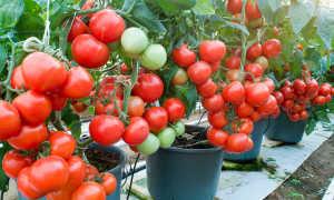 Выращивание томатов в ведрах в открытом грунте, теплицах: ВСЕ тонкости