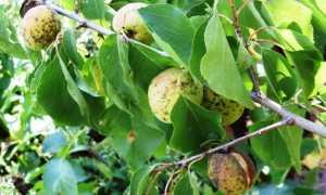 Клястероспориоз сливы, абрикоса, персика, вишни, черешни: причины, лечение