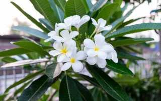 Плюмерия – история знаменитого цветка Гавайских островов