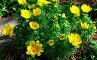 Адонис (горицвет): посадка и уход в открытом грунте, фото видов