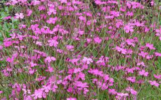 Гвоздика Травянка: посадка и уход, фото, выращивание из семян
