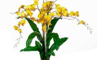 Камбрия – орхидеи онцидиумной группы