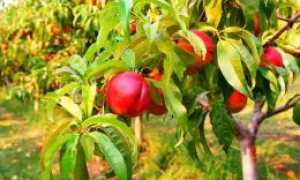 Зимостойкий и урожайный сорт нектарина Фантазия – обзор