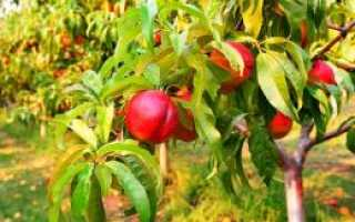 Лучшие сорта нектарина – морозостойкие и транспортабельные