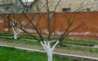 Защита сливы, сливового сада от болезней и вредителей