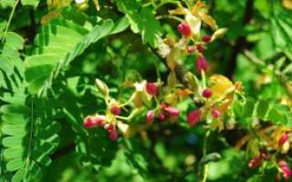 Выращивание тамаринда в домашних условиях.