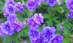 Садовая герань: виды и сорта