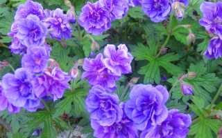Виды и сорта садовой герани