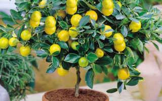 Что сделать, чтобы лимон плодоносил в домашних условиях?