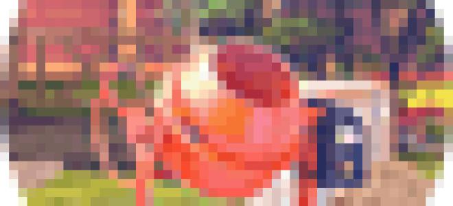 Сорт картофеля Иван да Шура: описание, характеристика, фото