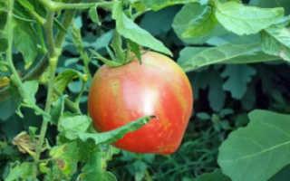 Томат Розовый спам : описание сорта, характеристика, фото