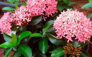 Иксора: виды растения, уход, содержание зимой, вредители