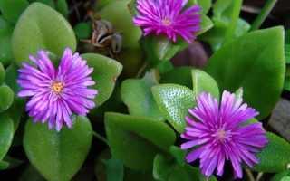 Элетария: фото, условия выращивания, уход и размножение