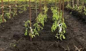 Почва и земля для помидор: оптимальный состав (кислотность, влажность)