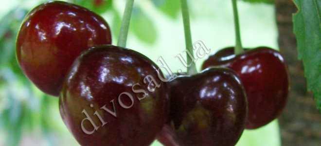 Сорт черешни Джерело – особенности плодов и отзывы о них