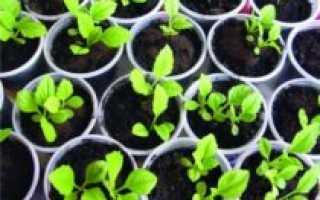 Когда сеять астры на рассаду: выращивание из семян, сроки, подготовка к посеву, как правильно сажать рассаду в Сибири