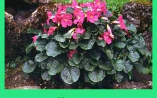 Выращивание Инкарвиллея в открытом грунте: пошаговая инструкция