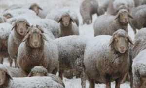 Содержание овец зимой: на улице, в помещении, какую породу выбрать