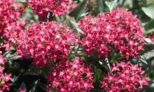 Пентас: описание и фото цветка, выращивание из семян, уход