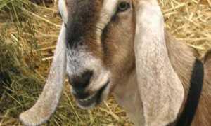 Нубийская порода коз: описание и общая характеристика