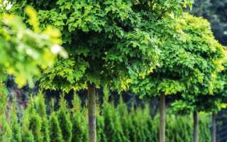 Эффектные деревья с круглой кроной