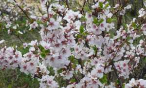 Живая изгородь из вишни