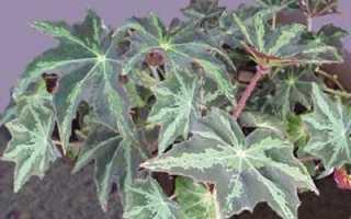 Бегония борщевиколистная: фото, условия выращивания, уход и размножение