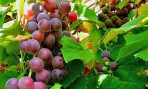 Чем обрабатывать виноград от фитофтороза