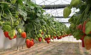 Выращивание земляники в контейнерах