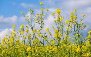 Выращивание рапса (озимого и ярового)
