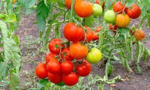35 сортов штамбовых томатов, что это такое, для открытого грунта