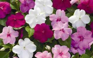 Бальзамин махровый: ботаническое описание, особенности и фото сортов Уоллера, Афина с розовыми, белыми, другими цветками
