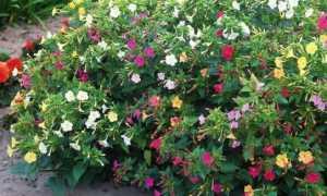 Выращивание мирабилиса из семян пошагово, когда сажать и др.